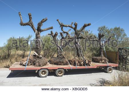 Baum Umpflanzen baum umpflanzen maschine eine linde fr pcklers gut acht bis zehn