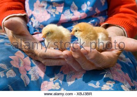 alte Bäuerin Huhn in ihren faltigen Händen hält - Stockfoto