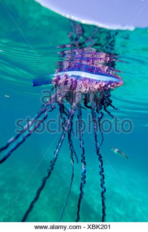 Über/unter Ansicht eines portugiesischen Mann des Krieges, eine geleeartige marinen Wirbellosen von der Familie Physallidae. - Stockfoto