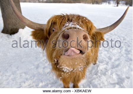 Hochlandrinder. Porträt im winter - Stockfoto