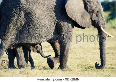 Afrikanischer Elefant Mutter und junges Kalb (Loxodonta africana), Duba Plains, Okavango Delta, Botswana, Südafrika. Stockfoto