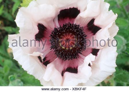 Wunderbar Weiße Blumen Schwarz Zentren Ideen - Kleider und Blumen ...