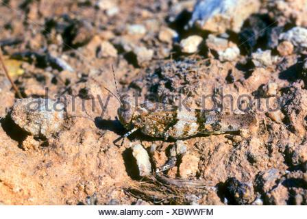 Blau-geflügelte Heuschrecke (Oedipoda Coerulescens, Oedipoda Caerulescens), gut getarnt auf steinigem Gelände, Deutschland - Stockfoto