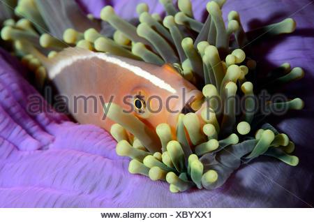Stinktier Anemonenfischen Amphiprion Sandaracinos, Similan Inseln, Thailand - Stockfoto
