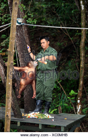 Bornean Orang-Utans (Pongo Pygmaeus), junge Flasche wird durch ein Torwart, Sepilok Rehabilitation Centre, Sabah, Asien - Stockfoto