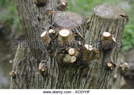 Beschnitten Weide Abgesagt Weide Salix Baum Fruhling Saison