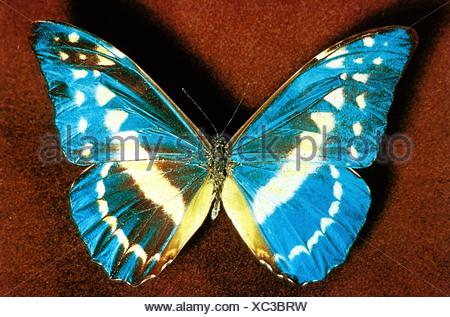 Zoologie / Tiere, Insekten, Schmetterlinge, Blue Morpho (Morpho Helena), Vertrieb: Peru, Schmetterling, Lepidoptera, tropisch, Motte - Stockfoto