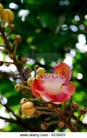 Blume aus Thailand, weiße Blume im Wald Thailand hautnah Stockfoto ...