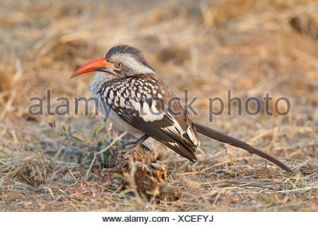 Rot-billed Hornbill (Tockus Erythrorhynchus) auf Anhöhe - Stockfoto