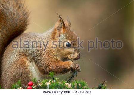 Feuchte Eichhörnchen