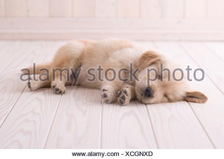 hund golden retriever welpe schlafend auf einem teppich stockfoto bild 53040057 alamy. Black Bedroom Furniture Sets. Home Design Ideas