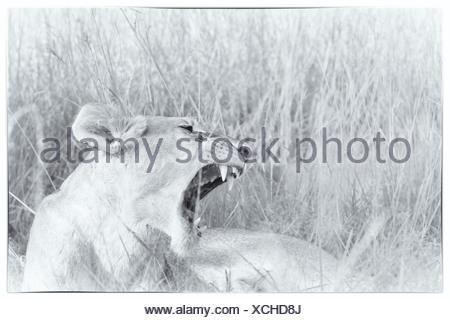 Löwin Detail: Kopf und vorne als sie sitzt in langen Gähnen grass, hohe wichtige Monochrom, Massai Mara, Kenia - Stockfoto