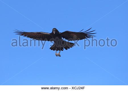 Kolkrabe (Corvus Corax), Landung, Kanarische Inseln, La Palma - Stockfoto