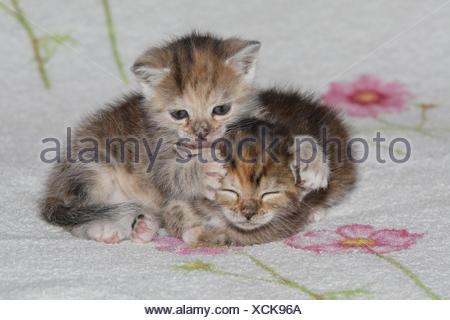 Katzen, junge, liegen, kleben, sauber, liebevoll, Bett, Tiere, Säugetiere, Haustiere, kleine Katzen, Felidae, zähmt, Haus Katze, Verhalten, Jungtier, Kätzchen, zwei Stück, zusammen, Geschwister, klein, kuscheln, lecken liebevoll, ungeschickt, unbeholfen, süß, gestreift, Liebe, Naht, lecken, müde, dösen, schlafen, Zuneigung, Zweisamkeit, junge Tiere, Tierbabys, innen,