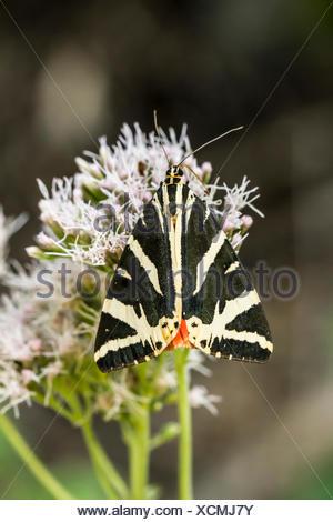 Tier, Insekten, Schmetterling, Lepidoptera, Blume, Motte, Euplagia ...
