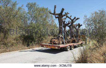 Bäume Umpflanzen verschieben baum umpflanzen stockfoto bild 146968257 alamy