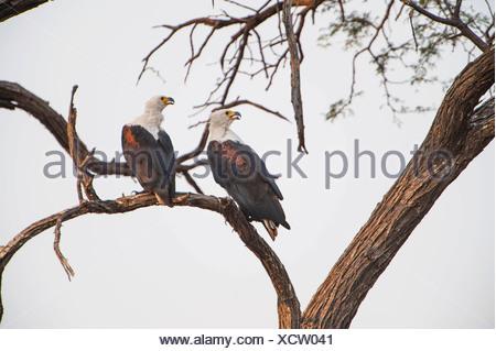 Afrikanische Fischadler (Haliaeetus Vocifer), Chobe National Park, North-West District, Botswana - Stockfoto