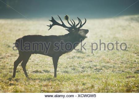 Rothirsch (Cervus Elaphus), Hirsch, belling, am frühen Morgen, Niedersachsen, Deutschland - Stockfoto