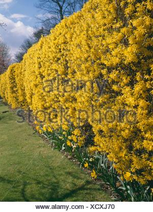 forsythien gelbe fr hling blumen hecke und rasen stockfoto bild 122584707 alamy. Black Bedroom Furniture Sets. Home Design Ideas