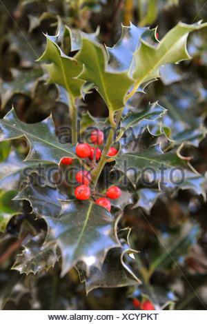 rote beeren auf eine stechpalme bush herbst uk rote beeren auf eine stechpalme bush herbst uk. Black Bedroom Furniture Sets. Home Design Ideas