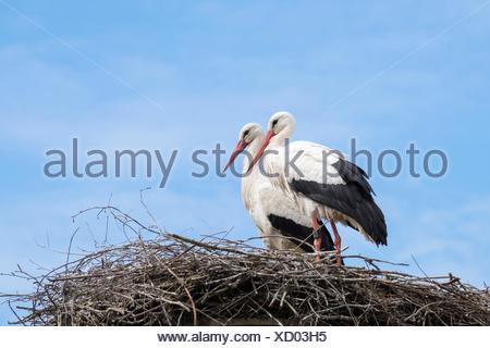 Weißstörche (Ciconia Ciconia), couple Standing im Nest, Salem, Bodenseekreis, Baden-Württemberg, Deutschland - Stockfoto