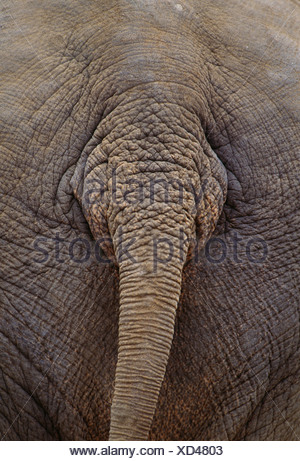 Asiatischer Elefant, in südlichen Teilen Asiens heimisch Stockfoto ...