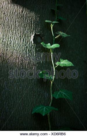 Gemeinsamen Efeu, Englisch Efeu (Hedera Helix) auf einem Baumstamm, Baden-Württemberg Stockfoto