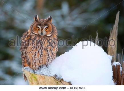 Waldohreule (Asio Otus), die Waldohr-Eule Sitzt Auf Einem Schneebedecktem Baumstumpf, Deutschland, Bayern | Waldohreule (Asio ot - Stockfoto