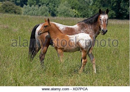 Appaloosa Horse, Stute mit Fohlen in Wiese - Stockfoto
