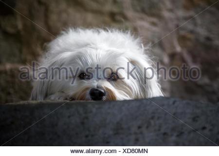 Ein Kleiner Weißer Hund Liegt Auf Einer Steinstufe Und Blickt in Die Kamera. - Stockfoto