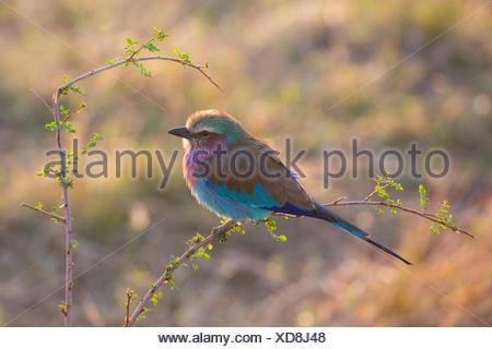 Ein Lilac breasted Roller Vogel in Serengeti Nationalpark. - Stockfoto