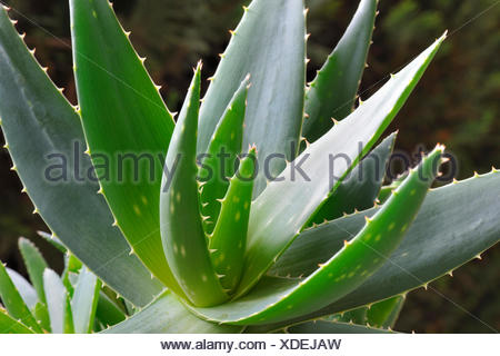 Aloe-Vera-Pflanze (Aloe Vera) Stockfoto
