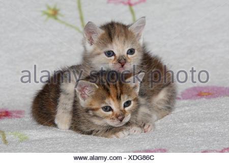 Katzen, junge, liegen, kuscheln, liebevoll, Bett, Tiere, Säugetiere, Haustiere, kleine Katzen, Felidae, zähmt, Haus Katze, Verhalten, Jungtier, Kätzchen, zwei Stück, zusammen, Geschwister, klein, kuscheln, umarmen liebevoll, ungeschickt, unbeholfen, süß, gestreift, Liebe, Naht, müde, dösen, Zuneigung, Zweisamkeit, junge Tiere, Tierbabys, innen,