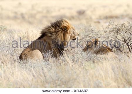 Löwe (Panthera Leo), weibliche und männliche liegen im hohen Grass, Okaukuejo, Kunene-Region, Etosha Nationalpark, Namibia - Stockfoto