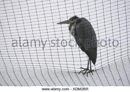 Graue Reiher (Ardea Cinerea) über ein Netz, einen Fischteich zu schützen - Stockfoto