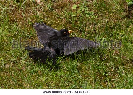 Amsel (Turdus Merula), Jungvogel, sitzen auf der Wiese beim Lernen zu fliegen, Deutschland - Stockfoto