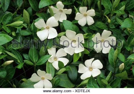 Weiße Blume Blumen Garten Pflanze Pflanzen Bodendecker, immergrün ...