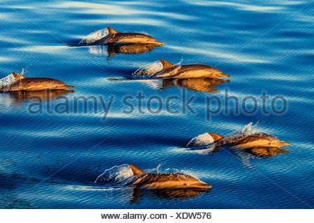 Langem Schnabel gemeine Delfine, Delphinus Capensis, Schwimmen in einem großen Pod bei Sonnenaufgang. - Stockfoto