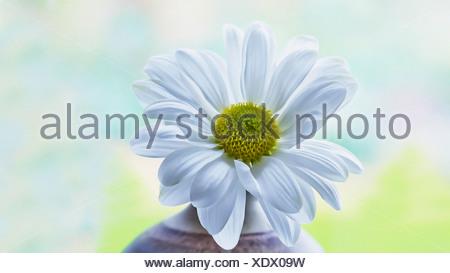 Einzelne Blume Chrysantheme Sorte mit weißen Blütenblättern, die ...