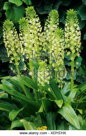 Eucomis Pol-Evansi, Pflanzen grün weiße Blume Blumen Garten Pflanze ...