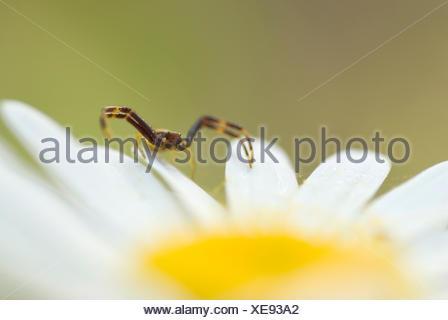 Eine männliche Goldrute Krabbenspinne (Misumena Vatia) sitzt auf einem Ochsen-eyed Daisy (Leucanthemum Vulgare) - Stockfoto