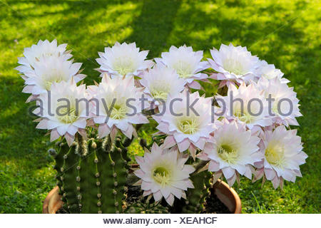 Igel Kaktus, Blüte, Echinopsis, Hybrida, Kaktus, Kaktus Pflanze ...