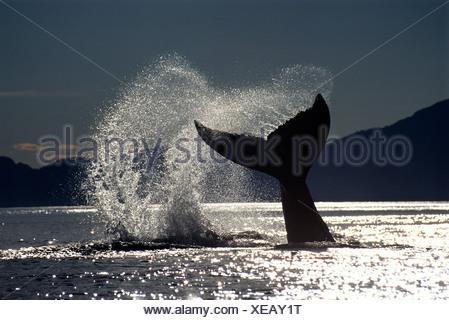 Buckelwal Lobtailing, Icy Strait, Südost-Alaska - Stockfoto