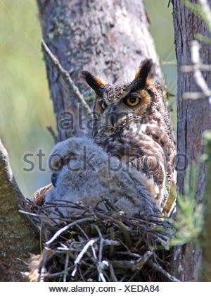 große gehörnte Eule (Bubo Virginianus), weibliche mit ein Küken im Nest, USA, Florida, Everglades Nationalpark - Stockfoto