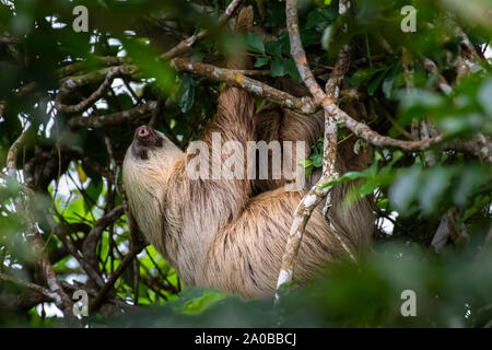 Gran Hoffmann dos pereza (Choloepus hoffmanni vetado) colgando de una rama de árbol imagen tomada en la selva de Panamá
