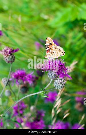 Painted Lady mariposa sobre flor de flores de cardos púrpura closeup vista lateral, bella naranja Vanessa cardui borrosa sobre la hierba verde del campo de verano