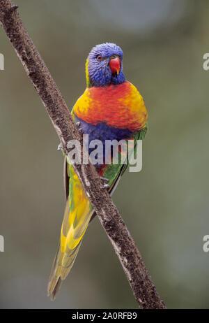 Rainbow Lorikeet adulta, Trichoglossus moluccanus, encaramado en la rama, Queensland, Australia