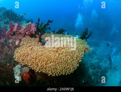 Los buceadores (silueteado) mirando con asombro a gran tabla ininterrumpida coral, pero hay basura ensuciando el piso debajo del mar. Beqa Lagoon, Fiji.