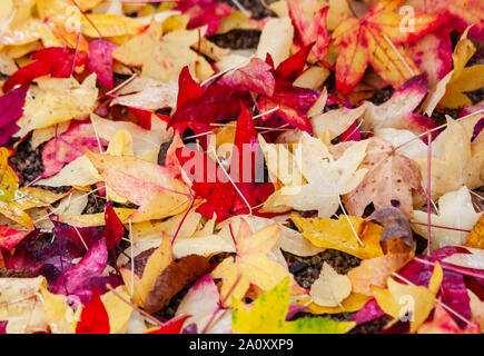 Hojas de arce en otoño sobre el suelo, rojo amarillo y naranja los colores. Colorido colorido exterior de temporada otoño follaje acer de fondo