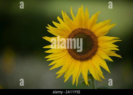 Girasol, Sonneblume
